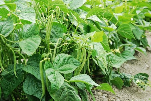 Стручковую фасоль на огороде