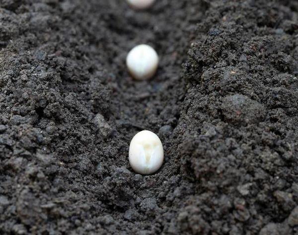 Посев семян стручковой фасоли