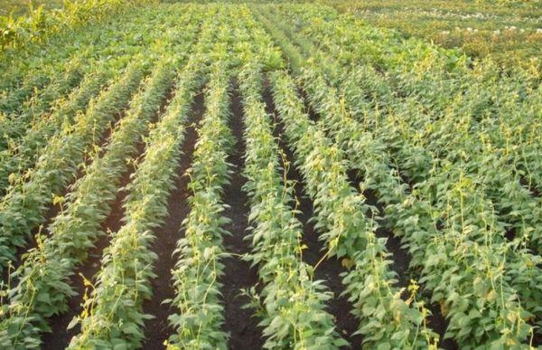 Фасоль культура, которую не сложно выращивать