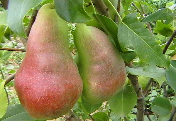 Плоды груши Перун в среднем весят 140–180 г
