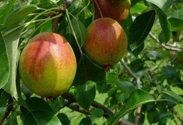 Степень урожайности 10-летней культуры достигает 40 кг