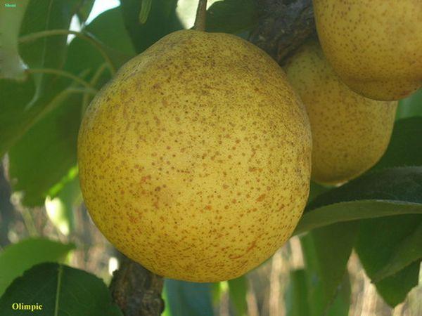 Олимпик дает средние по величине плоды, до 160 г