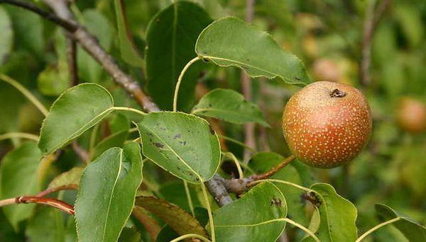 Популярный сорт груши Уссурийская