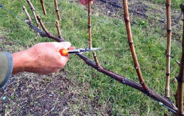 Обрезка винограда на зиму проводится в два этапа