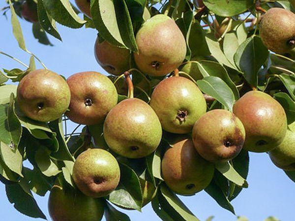 Сорт Северянка порадует плодами еще летом
