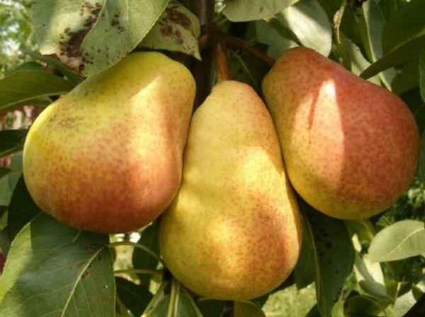 Средний вес плода не превышает 145 г.