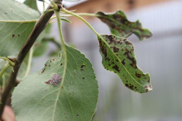 Среди болезней листьев и побегов встречается сажистый грибок