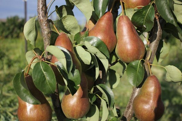 Плоды сорта достигают 250 г