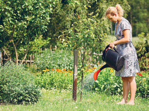 Полив груши лучше проводить дождеванием