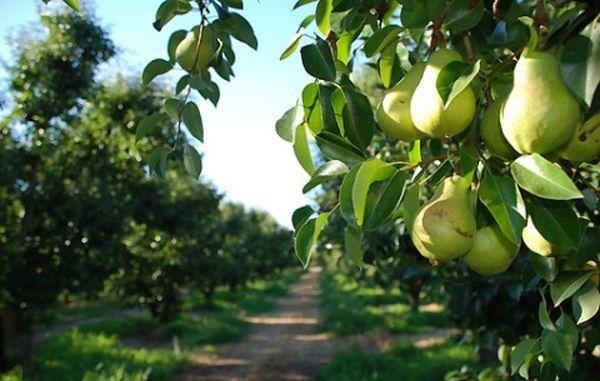 Сорт имеет крупные плоды до 200 г