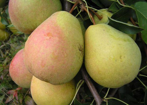 Максимальный вес плодов Велеса достигает 180 г
