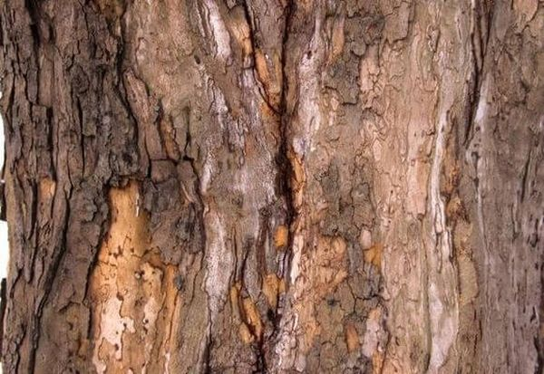 Дерево можно спасти с помощью обвязки