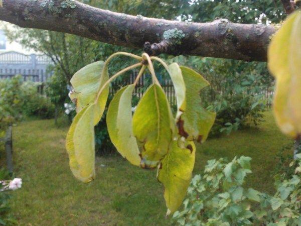 Если у груши желтеют листья - дерево подает сигнал бедствия