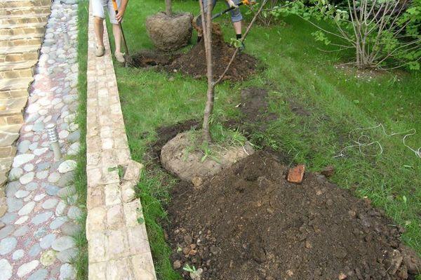 Грушевые деревья требуют обильного полива
