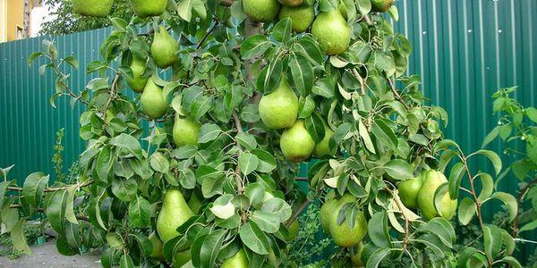 Стандартный вес плодов сорта – 75 г