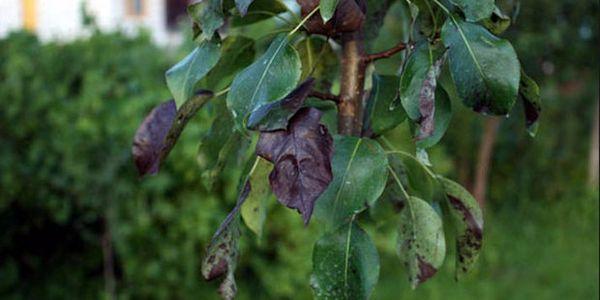 На поздних стадиях болезни рекомендуется уничтожить дерево