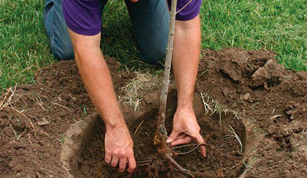 Посадка дерева я подготовленную яму