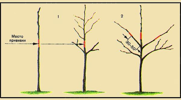 Места для прививки на плодовые деревья