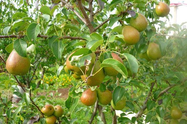Сбор урожая происходит в середине августа