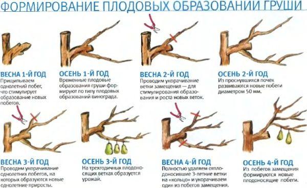 Формирование плодовых образований груши