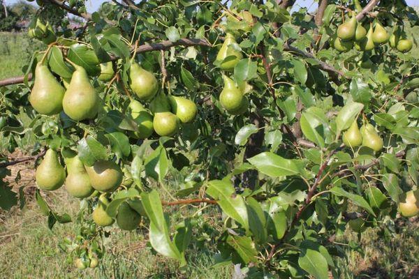 Первый урожай появляется на 4–5 год