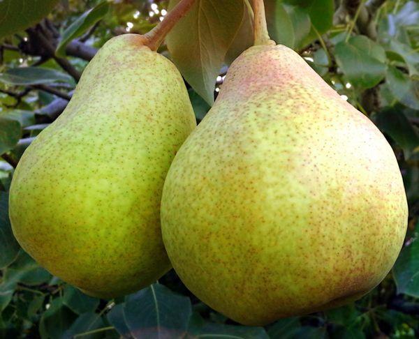 Вес плода Сказочная может достигать 255 г