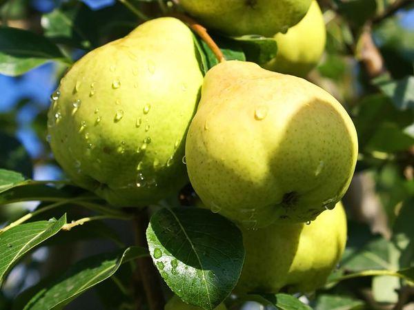 С одного гектара сорта Москвичка собирают 15–20 т спелых фруктов