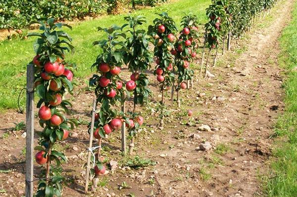 Колоновидная яблоня плодоносит непрерывно