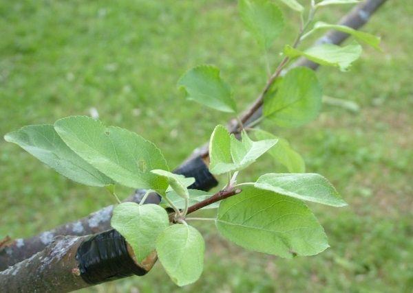 Лучший результат можно получить, привив грушу на яблоню весной