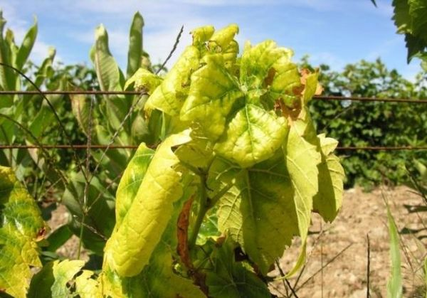 Хлороз винограда можно вылечить