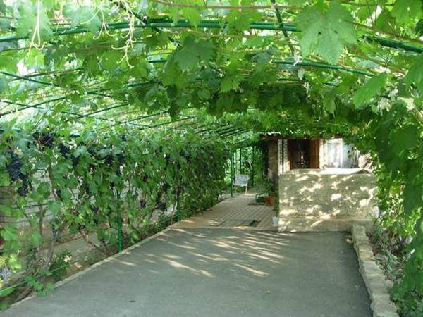 За арками под виноград необходим правильный уход