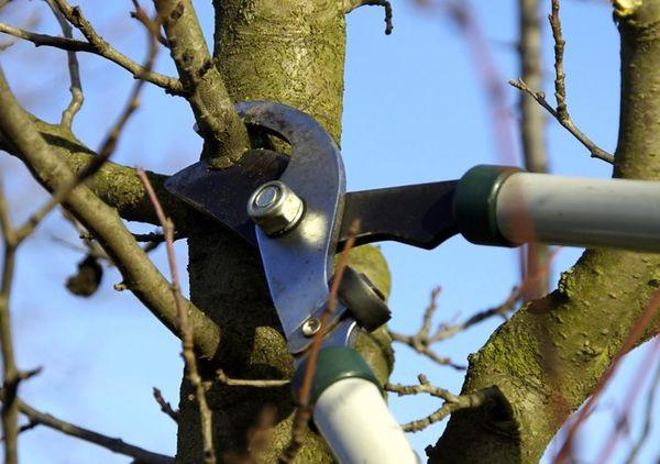 Обрезка яблони весной требуется для формирования кроны