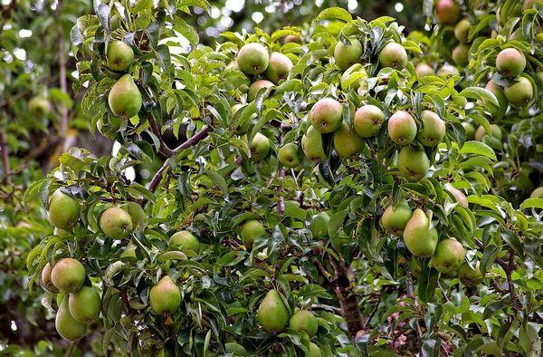 При должном уходе вес плодов достигает до 200 г