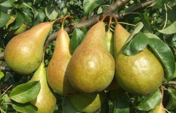 Плоды груши Конференция созревают в первой половине сентября