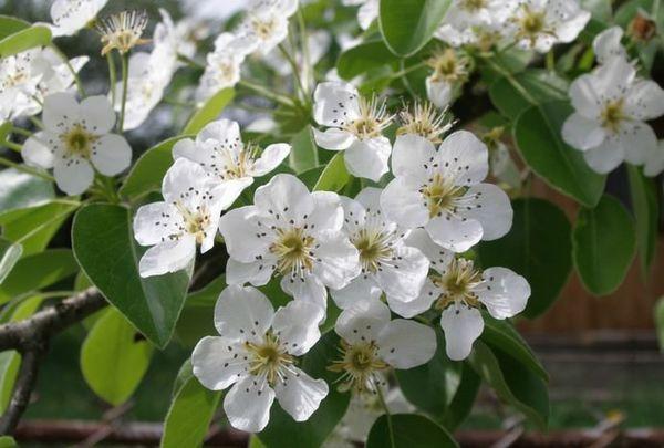 Во время цветения груша усыпана белоснежными цветочками