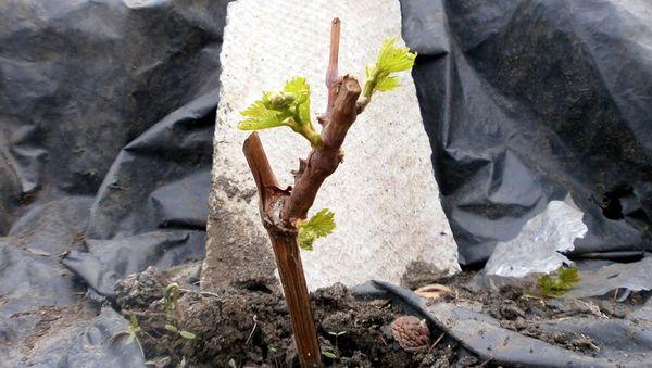 Поливать саженцы винограда следует теплой водичкой