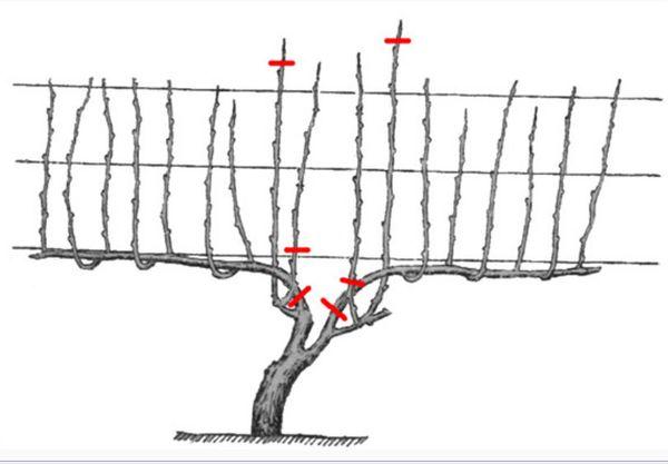 Обрезка винограда: детальная и правильная схема
