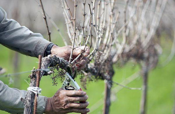 Обрезка молодого винограда заключается в удалении лишних побегов