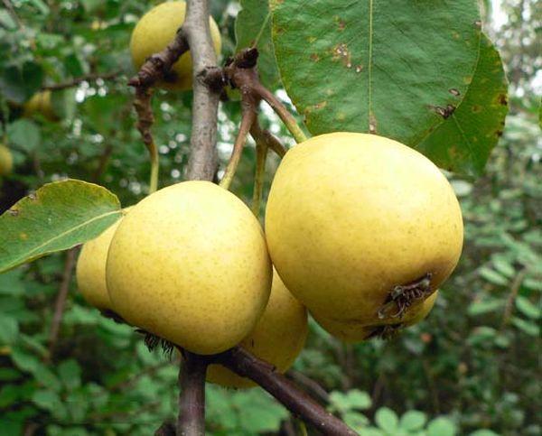 Популярный сорт Лимонка