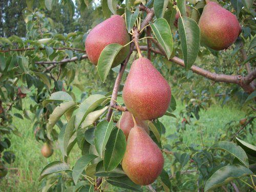 Популярный сорт груши Краснобокая