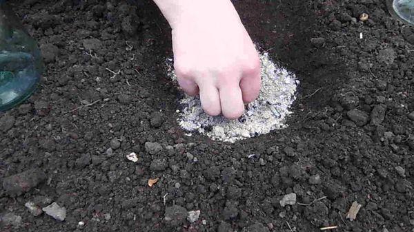 Высаживают рассаду в грунт спустя месяц