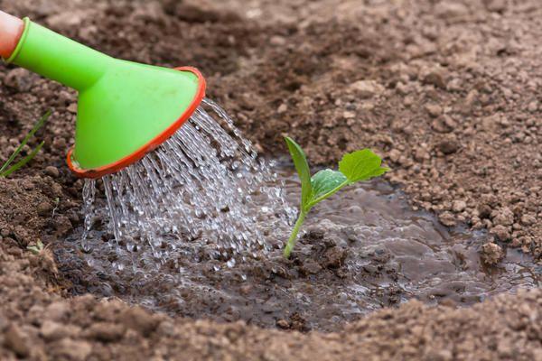 Полив проводится нечасто, за исключение периода засухи