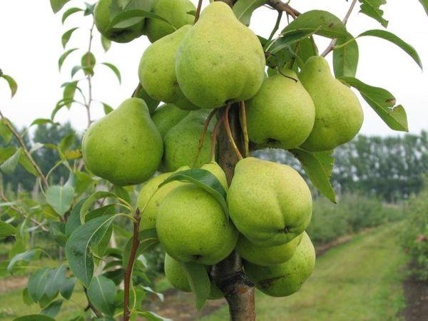 Популярный сорт груши Бергамот