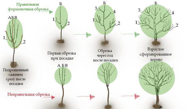 Правила формировочной обрезки дерева
