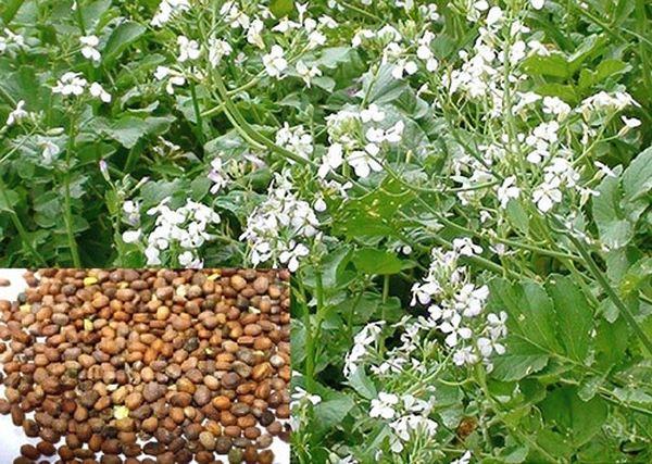 Высадка этого редиса способствует обогащению почвы