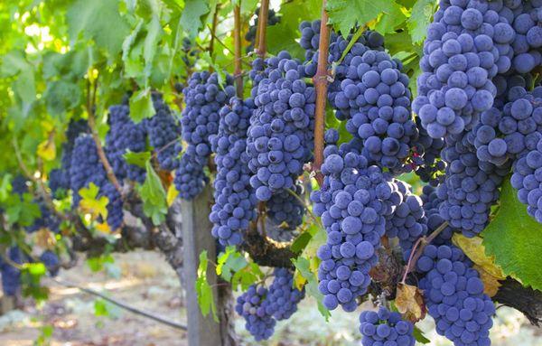 Виноград Изабелла относится к техническим сортам