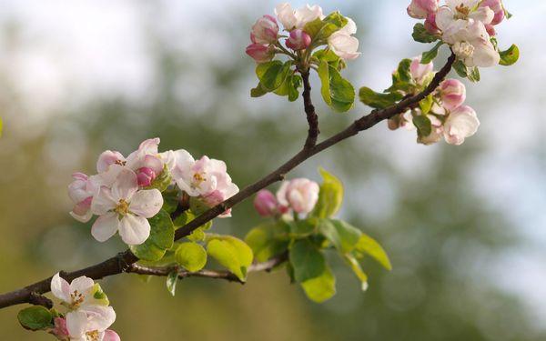 Когда цветет яблоня и распускаются почки: сроки