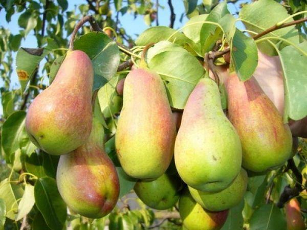 Плоды Лесной красавицы ценятся за непревзойденный вкус