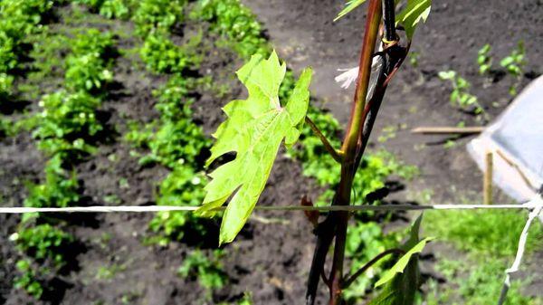 Виноград успешно выращивается на дачных участках