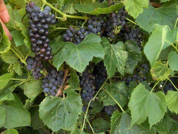 Виноград Амурский неприхотлив